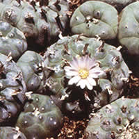 Growing Lophophora williamsii