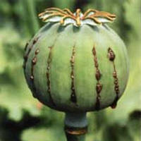 Growing Papaver somniferum