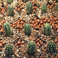 Growing Trichocereus species